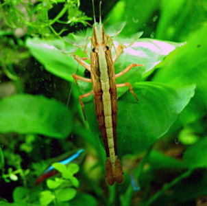 Wood Shrimp
