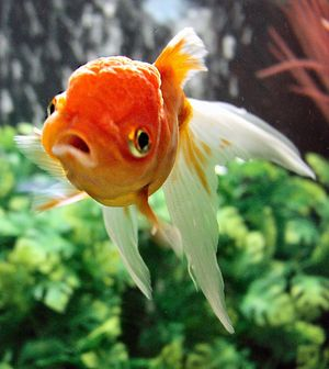 Coldwater Aquariums - The Free Freshwater and Saltwater Aquarium Encyclopedia Anyone Can Edit ...